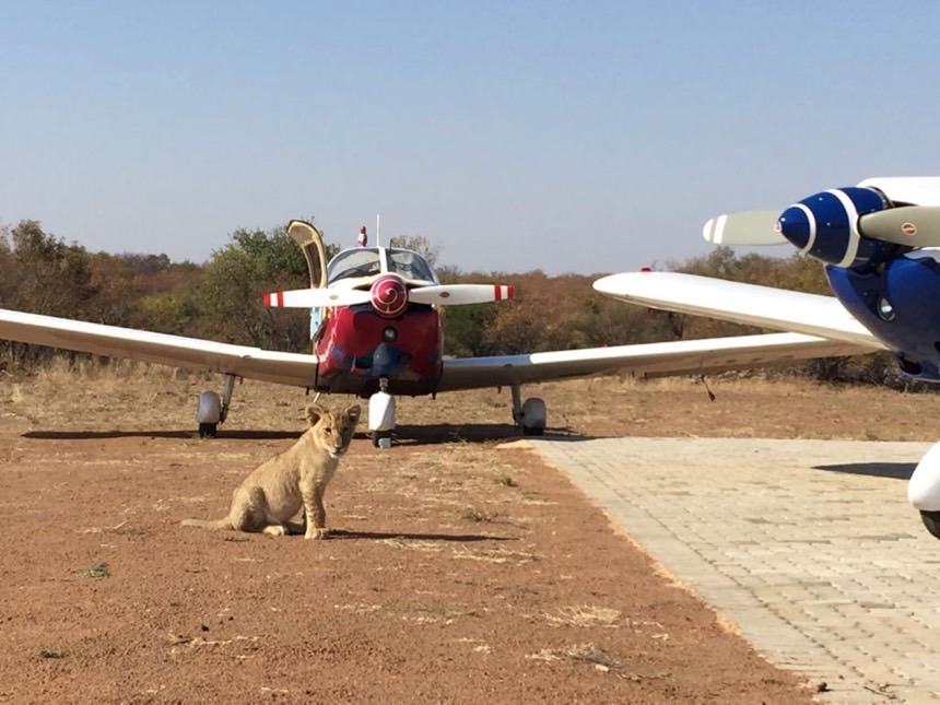 Airfield with lion cub